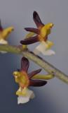 Cleisostoma fuerstenbergianum. Close-up.