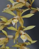 Coelogyne rochussenii. Close-up.