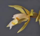 Coelogyne rochussenii. Close-up side.