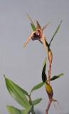 Dendrobium amplum