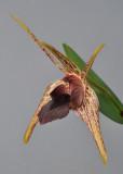 Dendrobium amplum. Close-up.