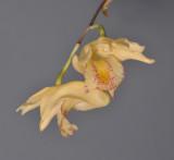 Dendrobium nudum. Close-up.