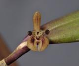 Myoxanthus reymondii. Close-up.