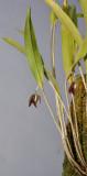 Myoxanthus serripetalus