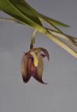 Myoxanthus serripetalus. Closer.