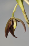 Myoxanthus serripetalus. Close-up. Side.