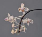 Phalaenopsis celebensis. Closer.