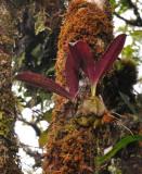 Bulbophyllum occlusum
