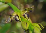 Bulbophyllum clavatum