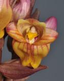 Acanthephippium splendidum. Close-up. HBL20032232.jpg