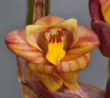 Acanthephippium splendidum. Close-up.2. HBL20032232.jpg
