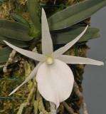 Angraecum rutenbergianum. Closer.jpg