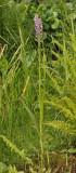 Dactylorhiza majalis subsp. praetermissa mutant.1.jpg