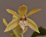 Coelogyne taronensis. Close-up.