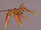 Bulbophyllum longibrachiatum. Closer. HBL20051916.jpg