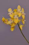 Bulbophyllum pleurothallidianthum. Closer. HBL20130645.jpg
