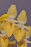 Bulbophyllum pleurothallidianthum HBL20130645.jpg