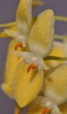 Bulbophyllum pleurothallidianthum. Close-up. HBL20130645.jpg
