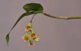 Dendrobium armeniacum HBL20110329.jpg