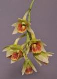 Dendrobium armeniacum. Closer. HBL20110329.jpg