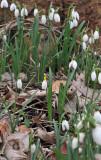Galanthus nivalis sandersii.jpg