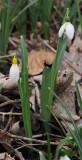 Galanthus nivalis sandersii.2.jpg