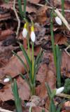 Galanthus nivalis sandersii.5.jpg