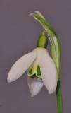 Galanthus nivalis Variegata Close-up.jpg