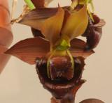 Catasetum duplisiscutula. Close-up front. HBL31013.jpg