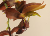 Catasetum duplisiscutula. Close-up side. HBL31013.jpg
