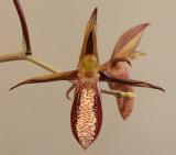 Catasetum tabulare. Close-up front. HBL31058.jpg