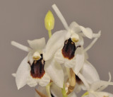 Coelogyne pulchella. Close-up.