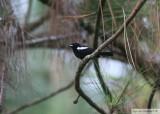 Tangara à épaulettes blanchesWhite-shouldered TanagerGamboa Rainforest Resort 11 janvier 2014