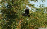 Urubu noirBlack VultureGamboa Rainforest Resort 12 janvier 2014