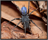 Purseweb Spider Male (Sphodros abboti)