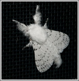 Dot-Lined White Moth (Artace cribrarius)