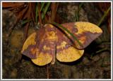 Imperial Moth (Eacles imperialis)