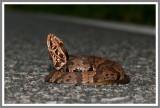 Florida Cottonmouth (Agkistrodon piscivorus conanti)