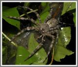 Whitebanded Fishing Spider (Dolomedes albineus)