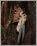 Cicada (Tibicen sp.)