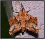 Small-eyed Sphinx (Paonias myops)