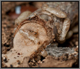 Drywood Termites (Incisitermes snyderi)
