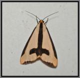 Clymene Moth (Haploa clymene)