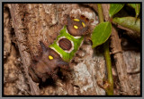 Saddleback Caterpillar (Acharia stimulea)