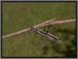 Two-striped Walkingstick (Anisomorpha buprestoides)