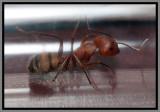 Carpenter Ant (Camponotus socius)