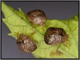 Kudzu Bug (Megacopta cribraria)