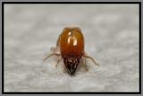 Drywood Termite Soldier (Incisitermes snyderi)
