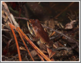Ornate Chorus Frog (Pseudacris ornata) With Feeding Mosquito