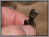 Florida Mud Turtle (Kinosternon steindachneri)